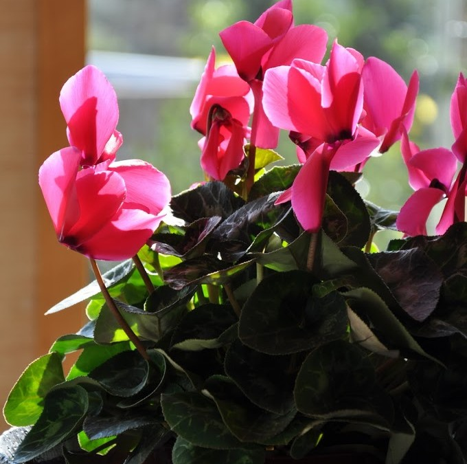 In my home – Cyclamen